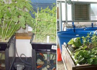 Aquaponic Garden Setup.