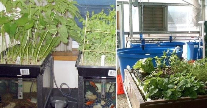 Aquaponic Garden Setup, Design, Techniques, Ideas ... on pond garden designs, diy garden designs, indoor aquaponics system designs, indoor garden designs, best aquaponic designs, backyard garden designs, berry garden designs, aeroponic garden designs, hydroponic garden designs, aquaculture garden designs, green garden designs, aquaponic diy designs, art garden designs, organic garden designs, greenhouse designs, for backyard aquaponic designs,