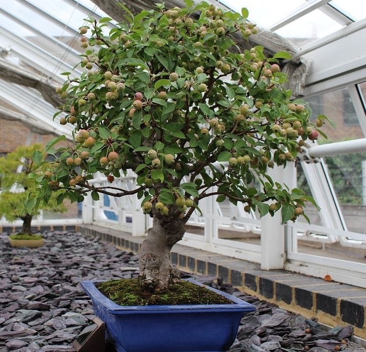 Bonsai Fruit Tree.