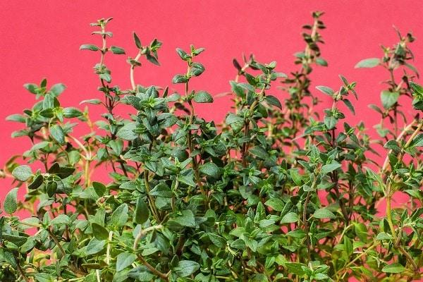 Growing Herbs in Backyard.