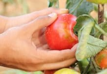 Organic Tomatoes.