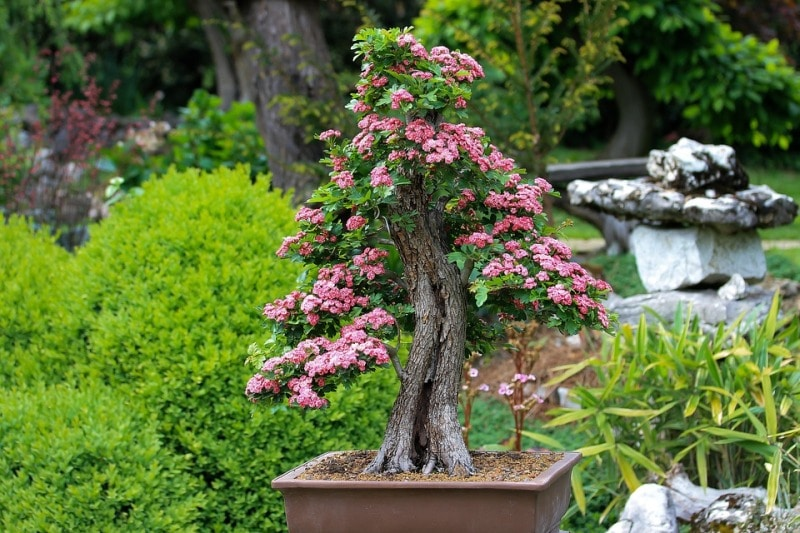 Outdoor Bonsai Tree.