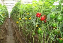 Polyhouse Vegetable Gardening.