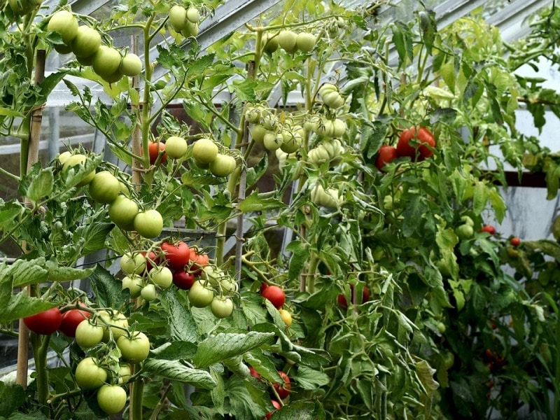 Basic Care of Hydroponic Tomato Plants.