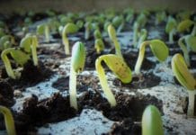 Growing Bean Sprouts.