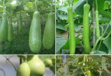 Bottle Gourd Terrace Gardening (Louki).
