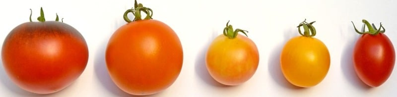 Container Tomato Gardening Types.