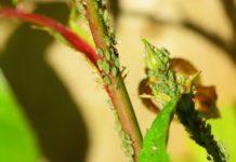 Garden Aphids Control Methods.
