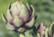 Growing Artichokes in Pots.