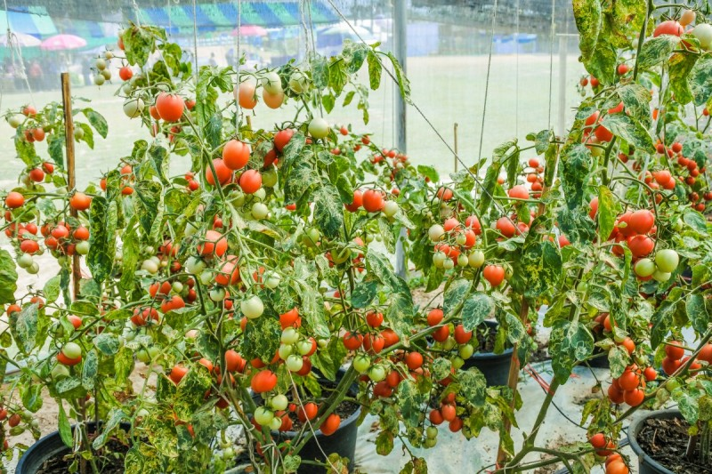 Tomato Gardening in Monsoon.