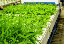 Best Indoor Hydroponic Plants