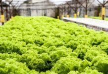 Hydroponic Lettuce Gardening.