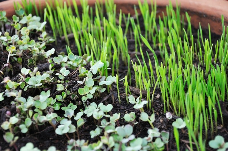 Microgreen Sprouts.