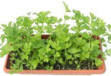 Oragnic Celery Gardening.