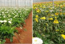 Polyhouse Floriculture.
