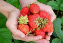 Hydroponic Strawberry Gardening.