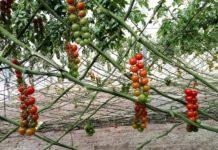 Soilless Tomato Gardening.