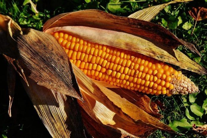 Sweet Corn Gardening.