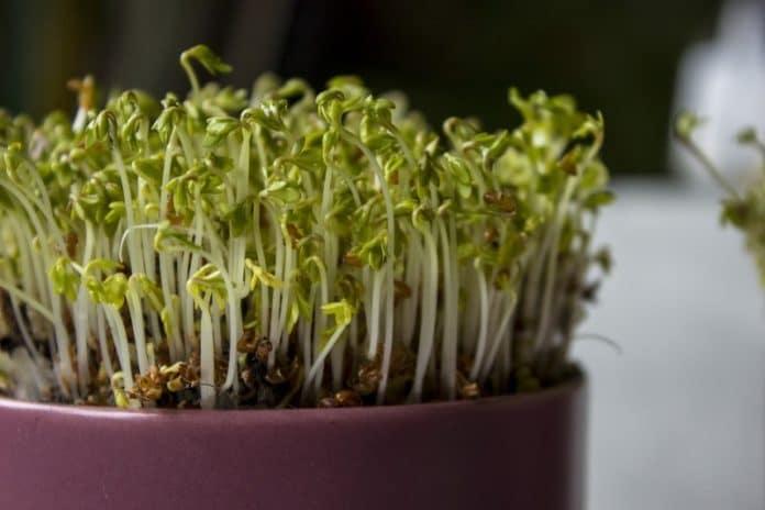 Growing Microgreens Indoors.