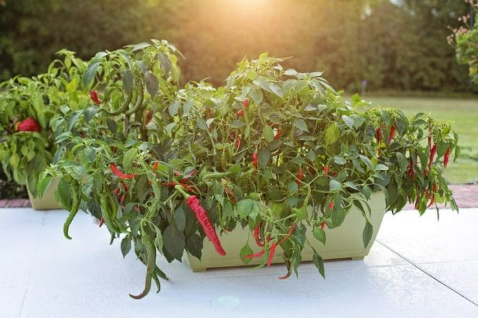 Container Chilli Gardening.
