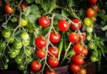 Tomato Container Gardening.