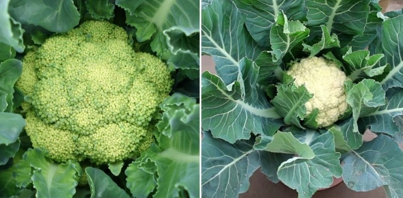 Growing Cauliflowers in Containers.