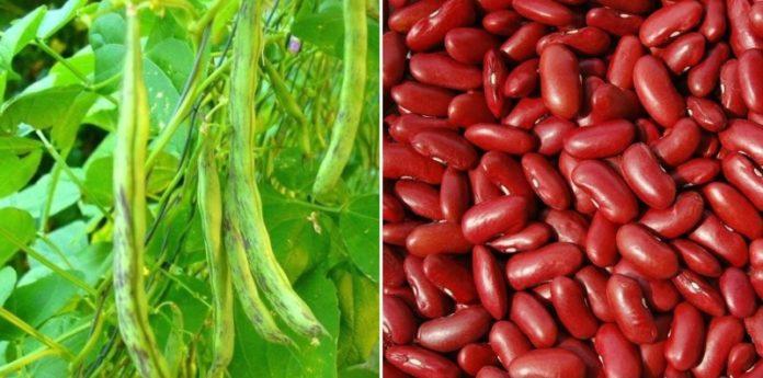 Rajma Container Gardening Tips Kidney Beans Gardening Tips
