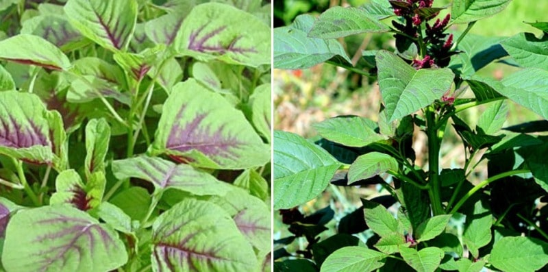 Amaranth Plants.