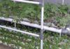 Growing Hydroponic Amaranth.