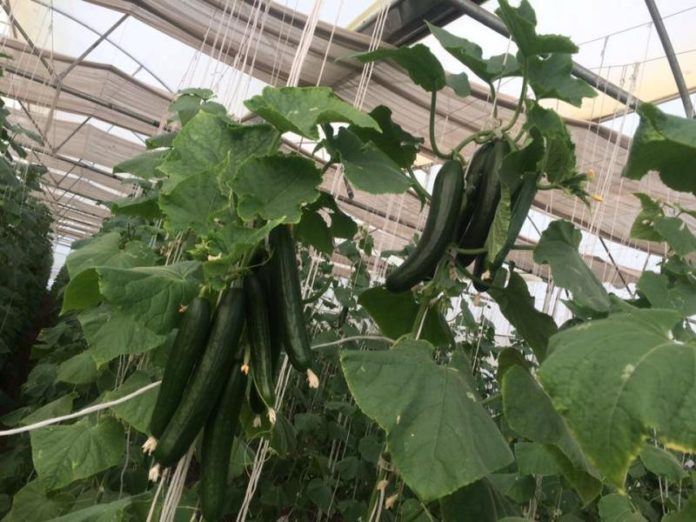Growing Cucumber Hydroponically.