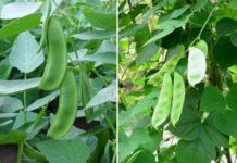 Lima Beans Gardening.