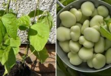 Broad Beans Container Gardening.