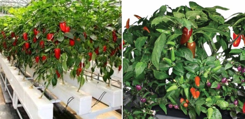Benefits of Hydroponic Chilli.