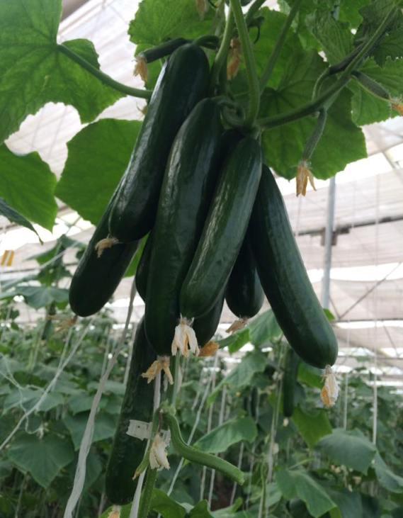 Hydroponic Cucumber Varieties.