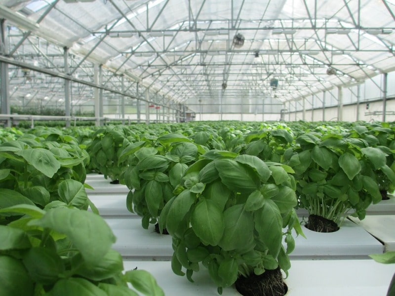Growing Basil in Greenhouse.