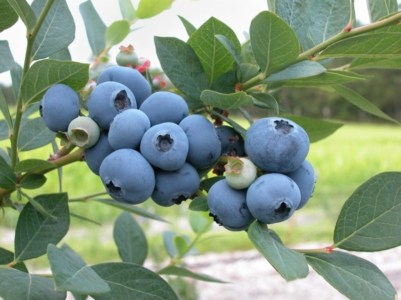 Growing Blue Berries Hydroponically.