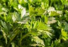 Celery Gardening Techniques.