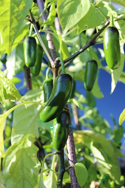 A Typical Jalapeno Pepper Plant.