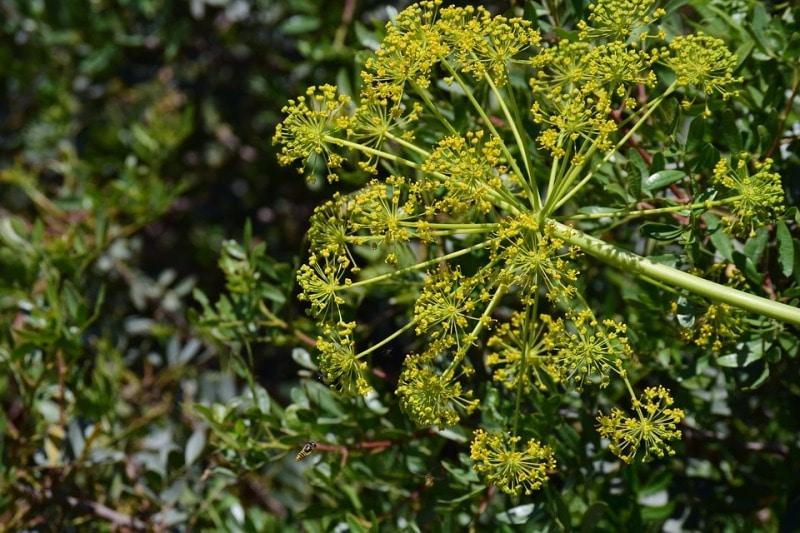 Wild Fennel Plant.