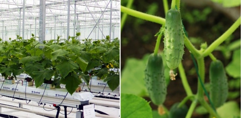 Hydroponics for growing Cucumbers.