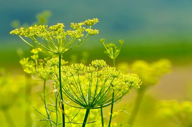 Fennel Plant.