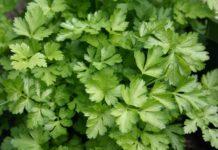 Hydroponic Herb Gardening.