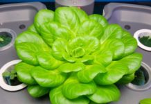 growing hydroponic vegetables for profit.