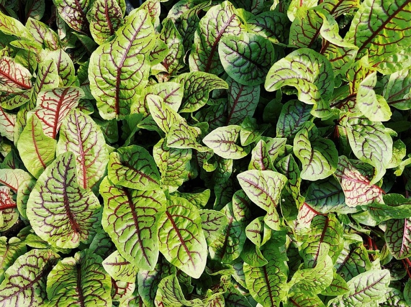 Red Veined Sorrel Plant.