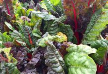 Growing Swiss Chard.