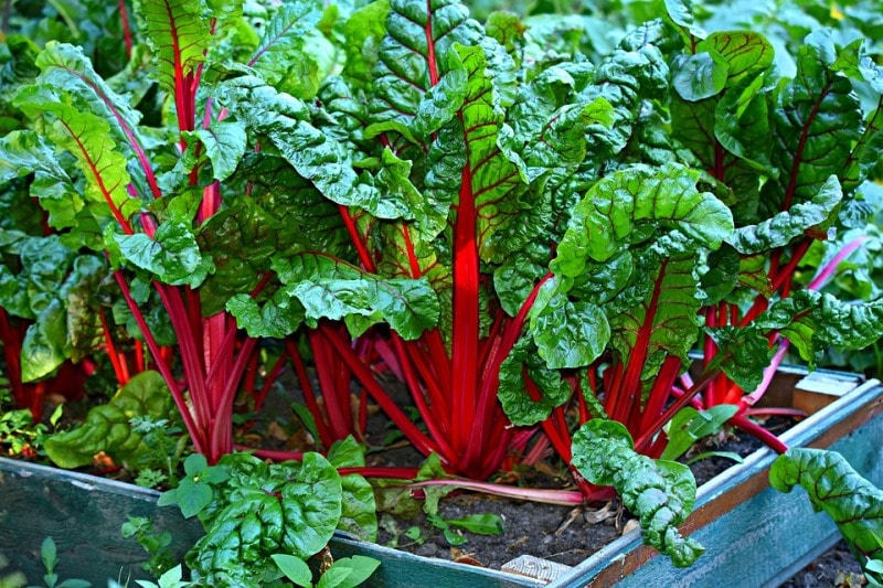 Swiss Chard in the Container.