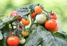 Organic Tomato Terrace Gardening.