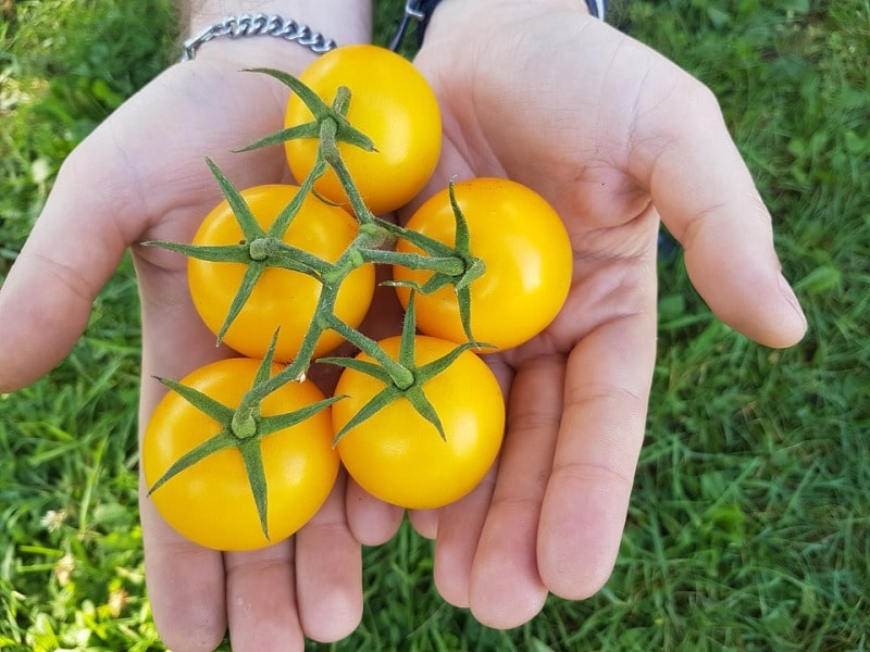 Yellow Tomato Variety.