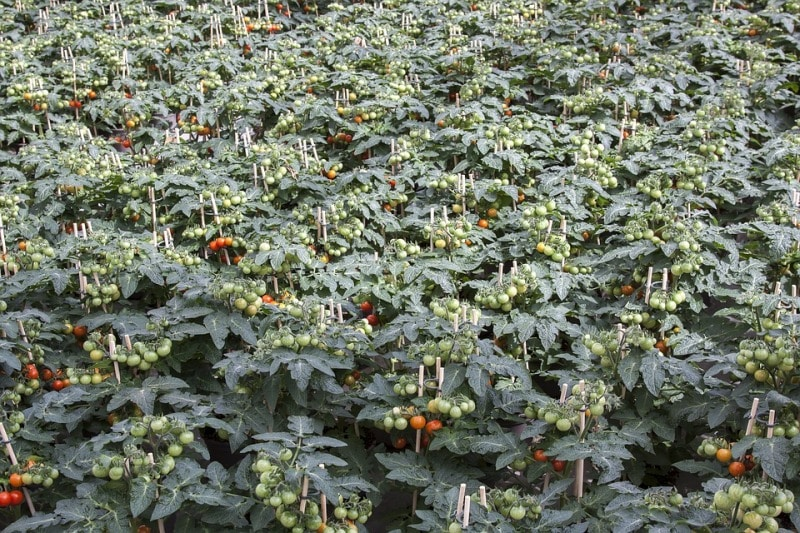 A Well Established Tomato Farm.