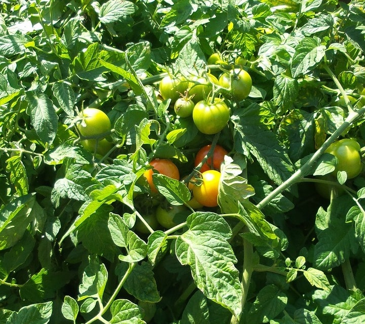 Best Growing Conditions of Tomato.